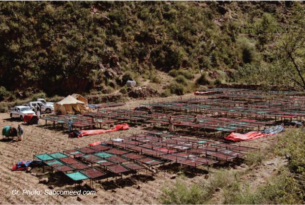 Coffee dries on raised beds in Yemen